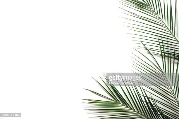 palm leaves on an isolated white background. - tropical climate stock pictures, royalty-free photos & images