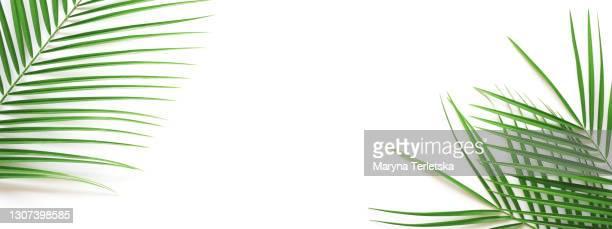 palm leaves on an isolated white background. - leaf stock pictures, royalty-free photos & images