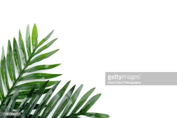 palm leaves on white background - exotisme photos et images de collection