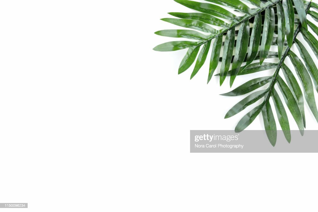 Palm Leaves on White Background : Stock Photo
