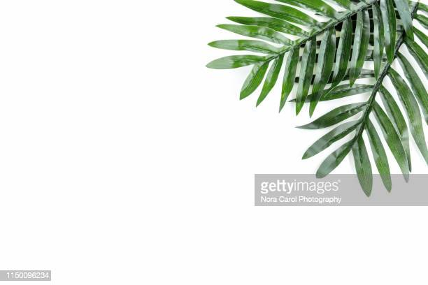 palm leaves on white background - blatt pflanzenbestandteile stock-fotos und bilder