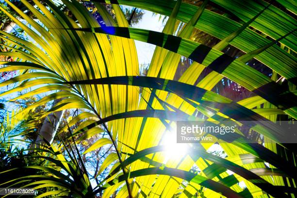 palm leaves - parte della pianta foto e immagini stock
