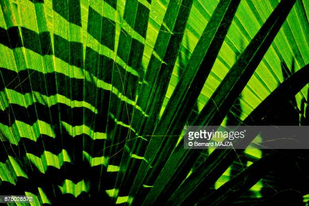 Palm leeves