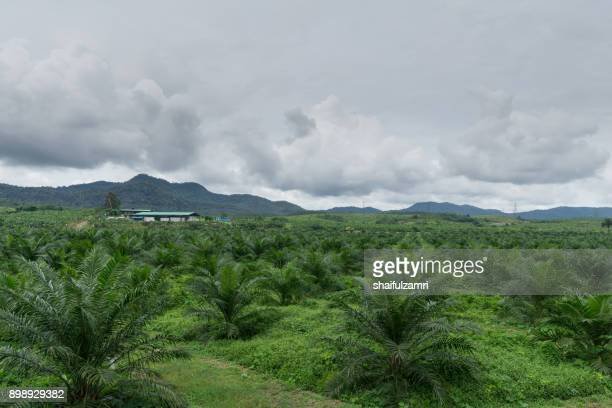 palm oil farmland over cloudy day in perak, malaysia - shaifulzamri stock pictures, royalty-free photos & images