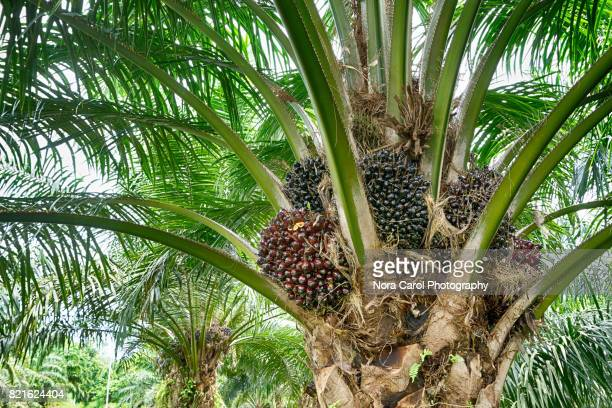Palm Oil Fruit in the Tree.