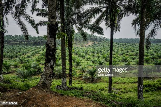 A palm oil plantation and factory encroaches on a wildlife reserve on September 7 2015 The protected area is complex in its location and management...