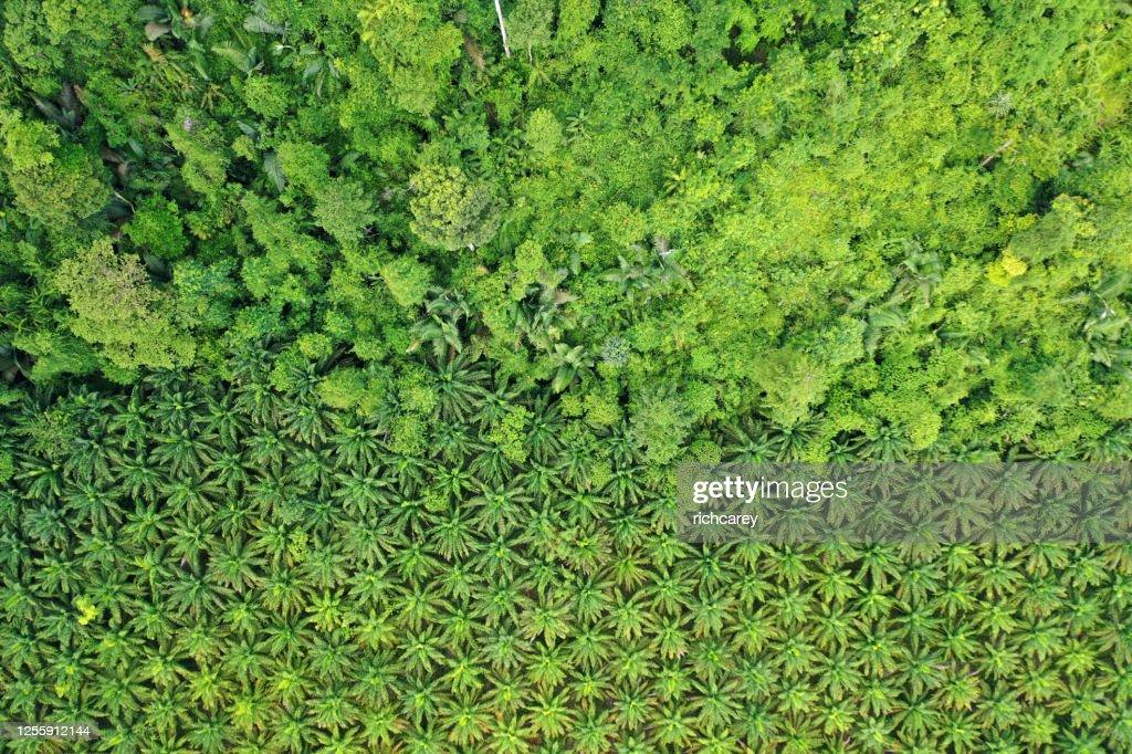 Palm oil plantation at rainforest edge : Stock Photo