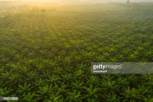 palm oil plantation at sunrise, malaysia - palm oil stock pictures, royalty-free photos & images