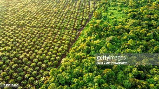 palm oil plantation at the edge of peat land swamp rainforest - palm oil stock pictures, royalty-free photos & images