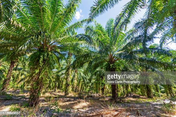 palm oil plantation in kudat sabah borneo - palm oil stock pictures, royalty-free photos & images