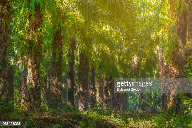 palm oil plantation. - palm oil stock pictures, royalty-free photos & images