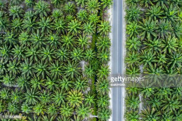 palm oil plantations in indonesia with road cutting through - island of borneo stock pictures, royalty-free photos & images
