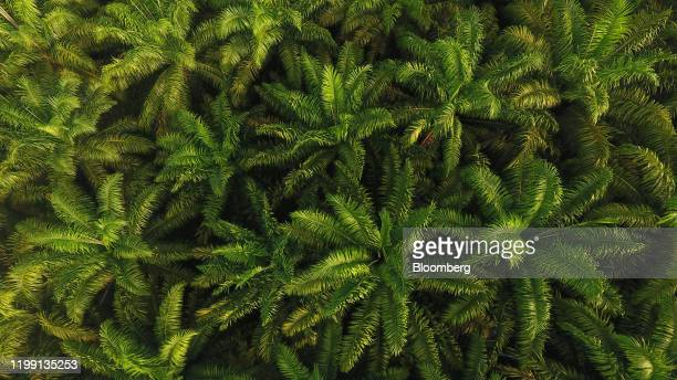 Palm oil trees grow in this aerial photograph taken over the Penajam area of East Kalimantan, Borneo, Indonesia, on Wednesday, Nov. 27, 2019. For...