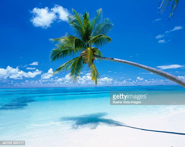 palm on tropical beach - maldives stock pictures, royalty-free photos & images
