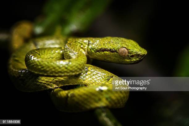 Palm pit viper coiled in the rainforest of costa rica