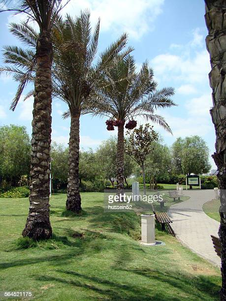 palm red date - hussein52 stock photos and pictures