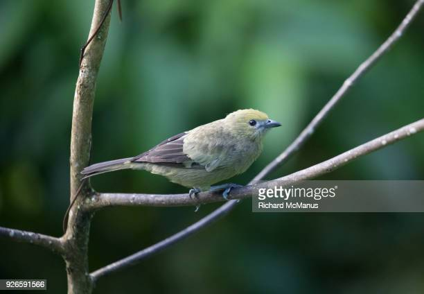 Palm tanager tanager