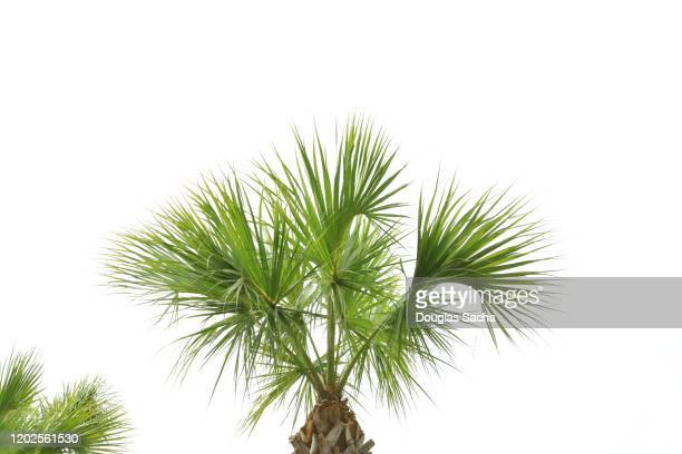 palm teee on a white sky - tropical tree stock pictures, royalty-free photos & images