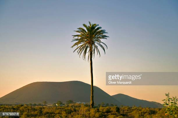 Palm tree against mountains, Lanzarote, Canary Islands, Spain