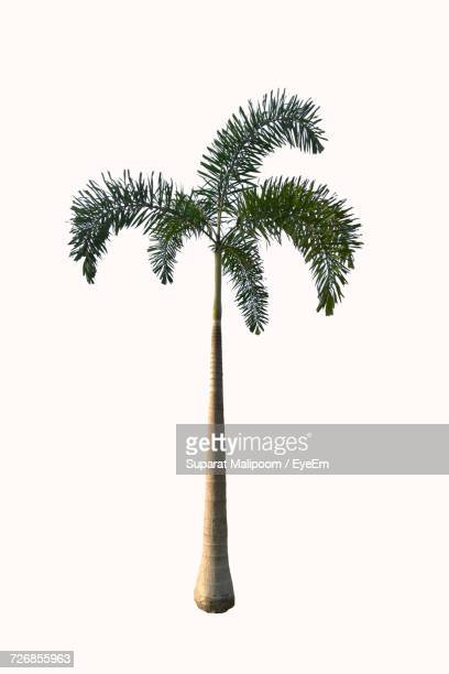 Palm Tree Against White Background