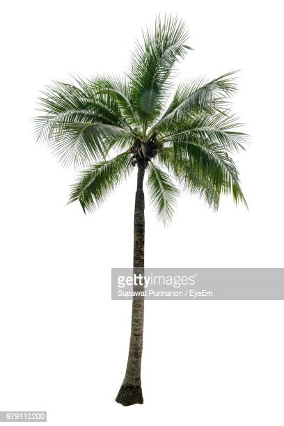palm tree against white background - palm tree stock pictures, royalty-free photos & images