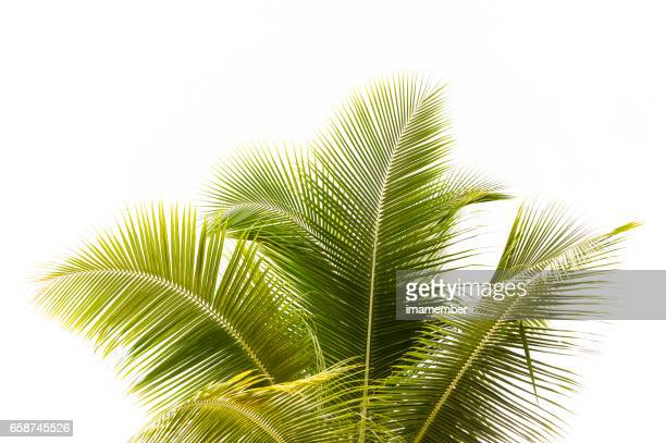 palm tree against white background with copy space - palm tree stock pictures, royalty-free photos & images