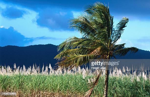 Palm tree and sugarcane field near Daintree.