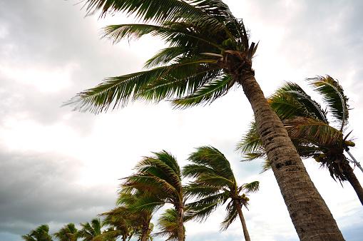 Palm tree at the hurricane 496976306