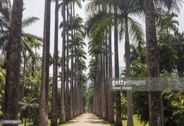 uma avenida de palmeiras no jardim botânico do rio de janeiro - jardim botânico - fotografias e filmes do acervo