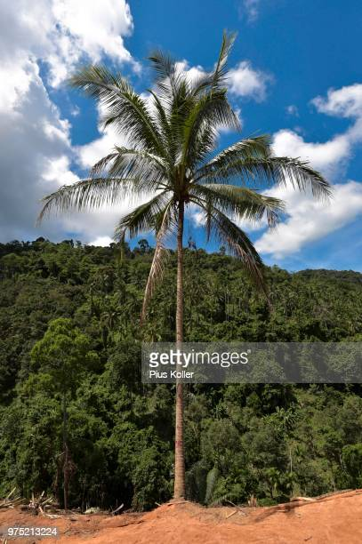 palm tree by the roadside, ko samui, thailand - golf von thailand stock-fotos und bilder