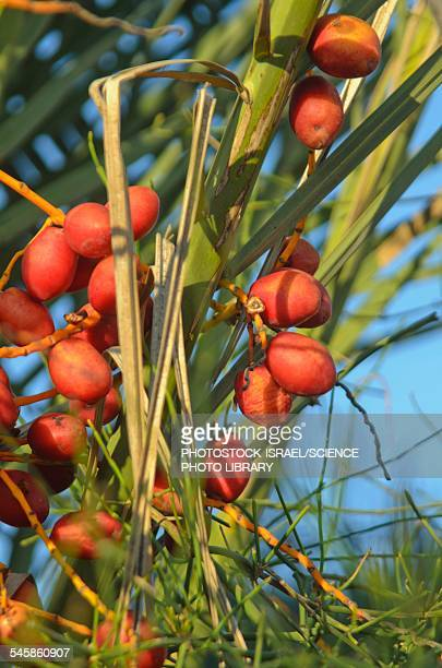 palm tree dates - photostock stock photos and pictures