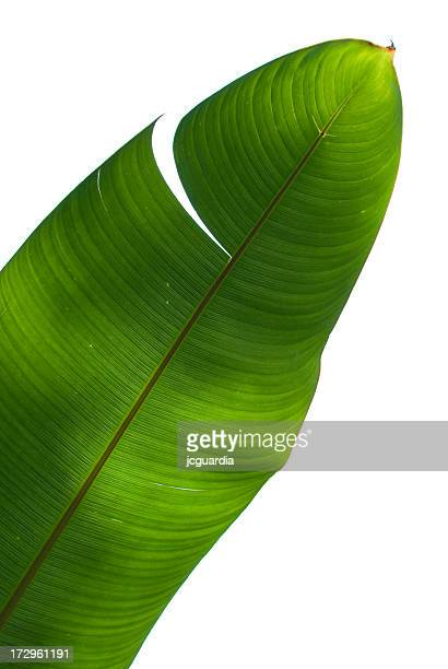 palm tree green leaf - banana tree stock pictures, royalty-free photos & images