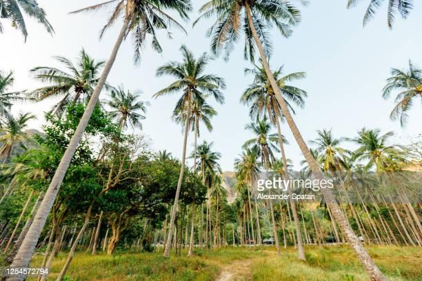 palm tree grove at tonsai beach, krabi, thailand - exotismo fotografías e imágenes de stock