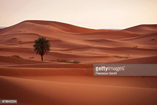 palm tree in desert, merzouga, irkasz-szabbi, morocco - merzouga stock pictures, royalty-free photos & images