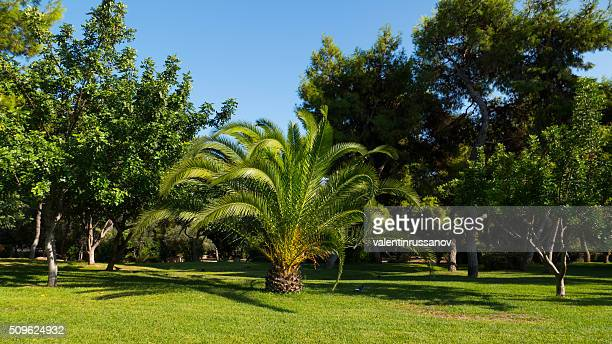 Palm tree in garden - Athens, Greece
