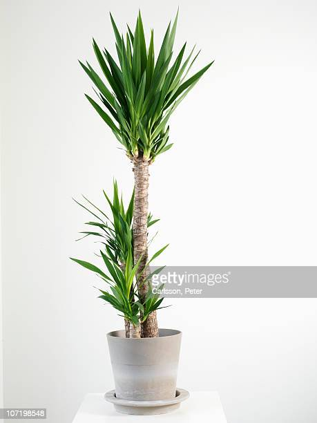 palm tree in pot - pot plant stock pictures, royalty-free photos & images