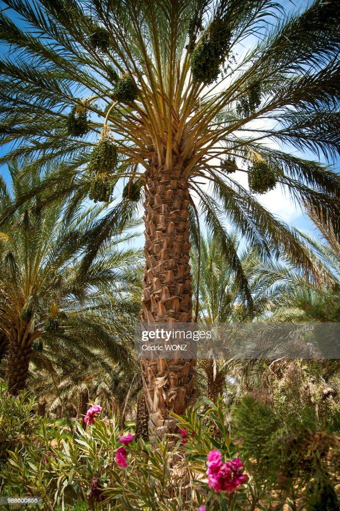 Palm tree in Tunisia : Stock Photo