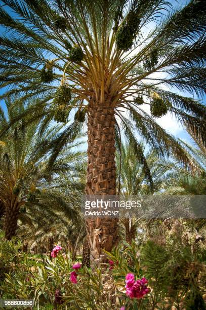 palm tree in tunisia - date palm tree stock pictures, royalty-free photos & images