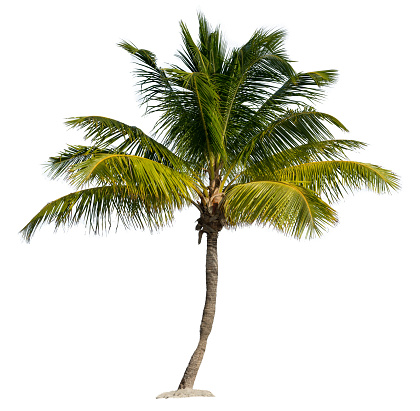 Palm Tree Isolated on a White Background 484330326