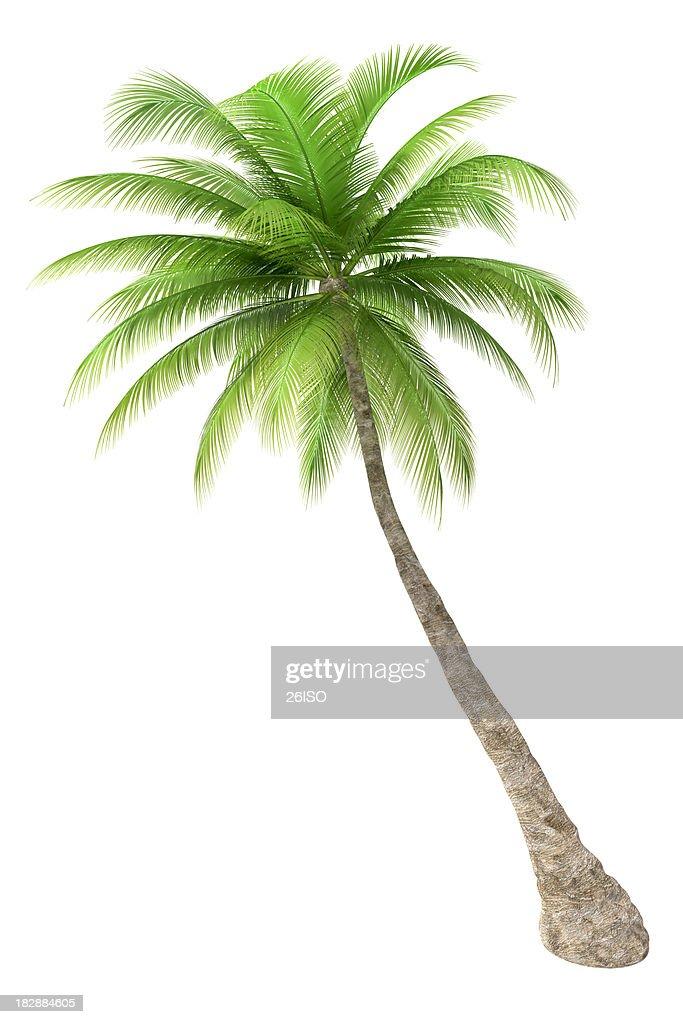 Palmier isolé sur fond blanc : Photo