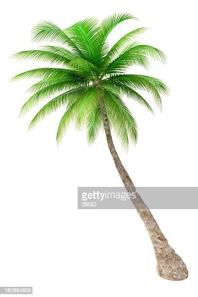 Palmeira isolado em fundo branco