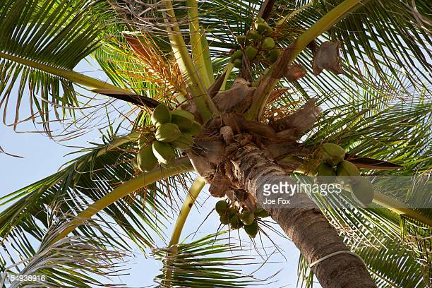 palm tree laden with coconuts, florida - fruit laden trees stock pictures, royalty-free photos & images