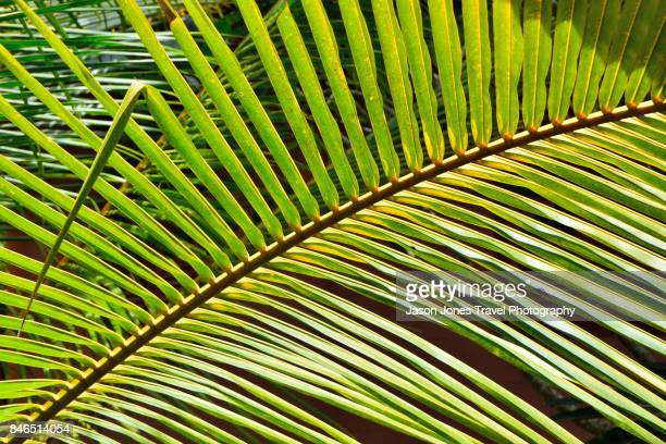 Palm tree leaf with many fronds