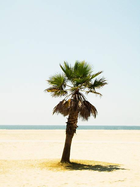 A palm tree on a beach Los Angeles USA.