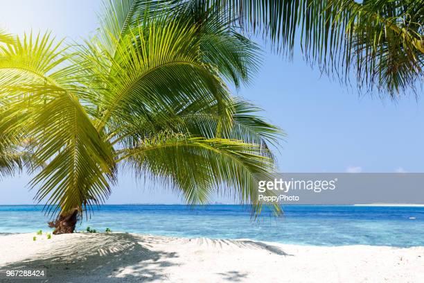palm tree on a tropical beach, maldives - foglia di palma foto e immagini stock