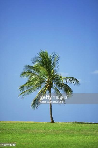 Palm Tree on Oahu
