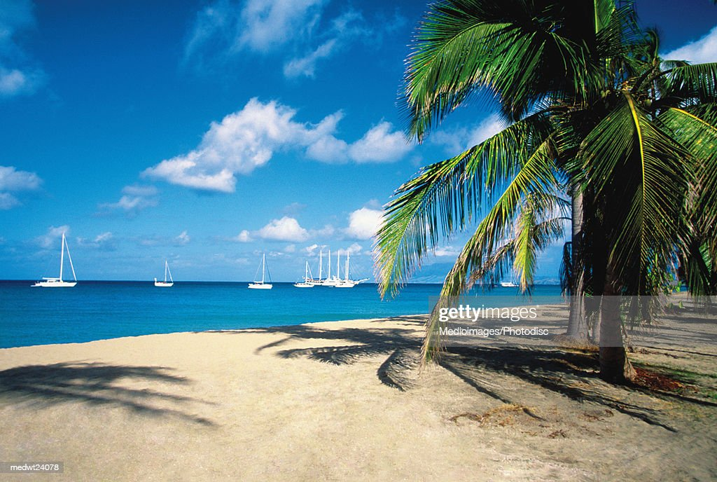 Palm tree on Pinneys Beach with sailboats in the distance on Nevis, Caribbean : Stock Photo