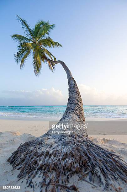 palm tree on worthing beach, barbados, caribbean - barbados stock pictures, royalty-free photos & images