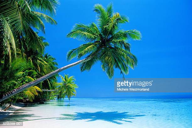 Palm tree overhang on tropical beach, Maldives