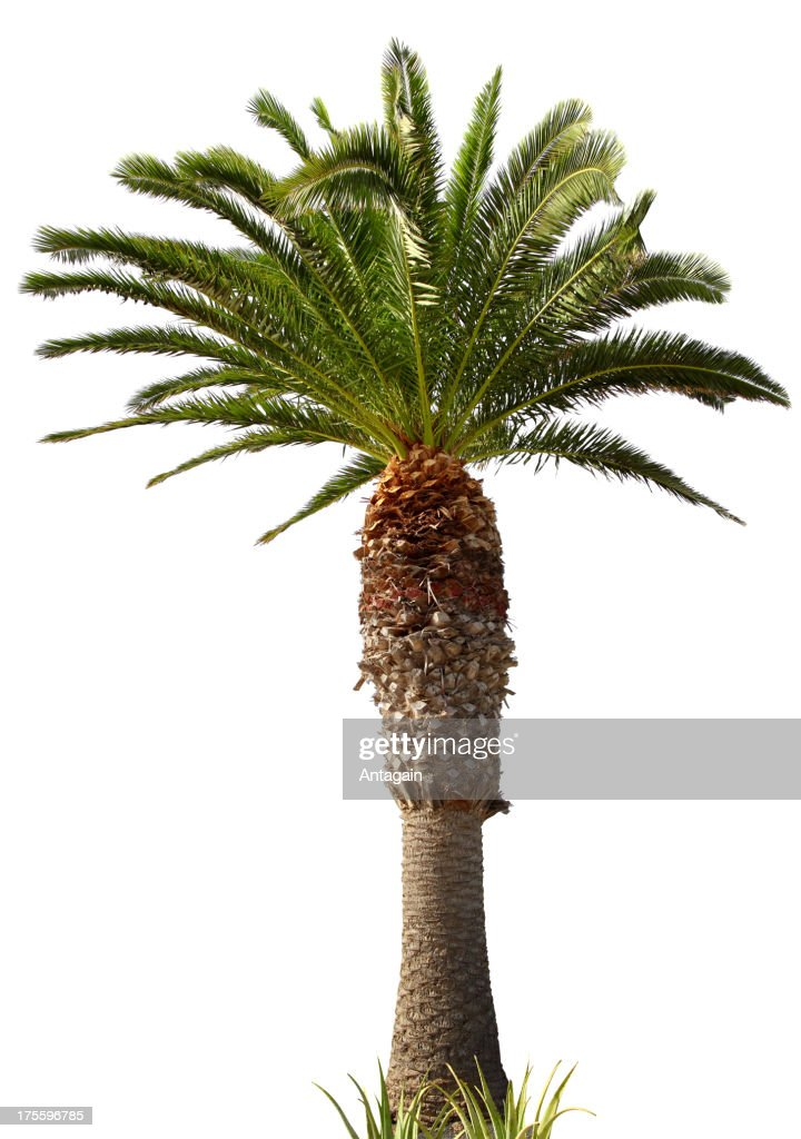 Palm Tree Stock Photo   Getty Images